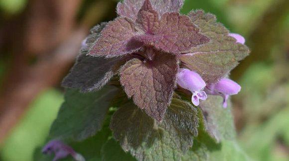 purple-dead-nettle-min