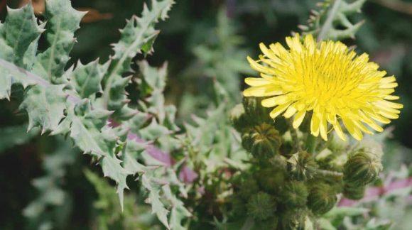 sonchus-arvensis-yellow-min