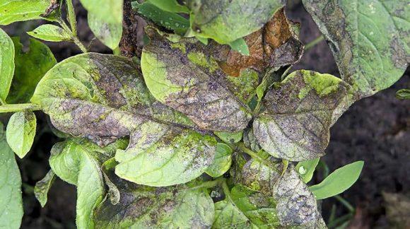 fitoftoroz-kartofel-1-min