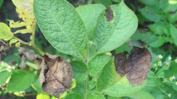 fitoftoroz-kartofel-min