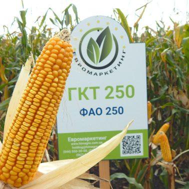 Гібрид кукурудзи ГКТ 250