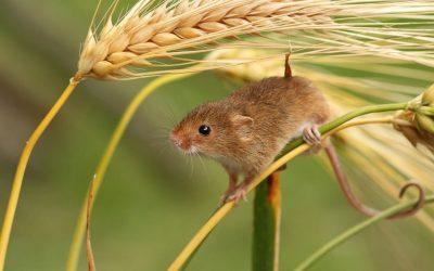 Польова миша