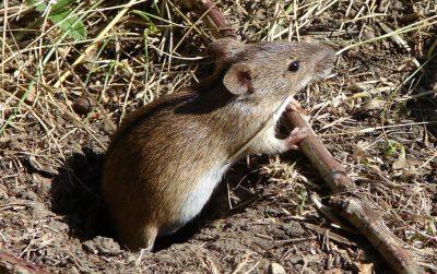 Миша польова