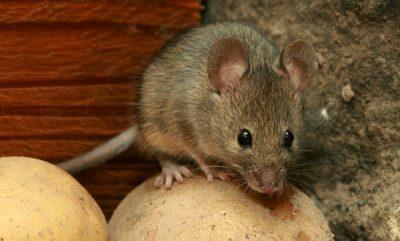 Миша хатня