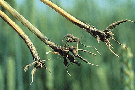 Офіобольозна коренева гниль