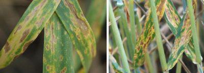 Піренофороз пшениці, листова форма