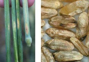 Піренофороз пшениці, стеблова форма та ураження зерна