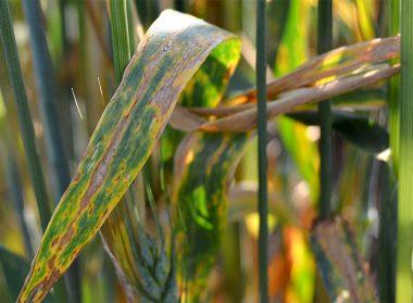 Піренофороз пшениці