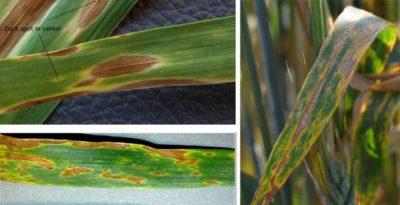 Піренофороз пшениці, ознаки ураження