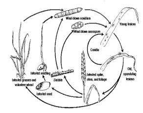 Життєвий цикл