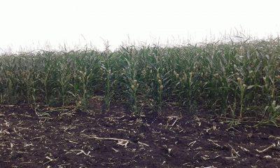 Кукуруза на демополе в Кировоградской области по состоянию на 12 июля 2018р